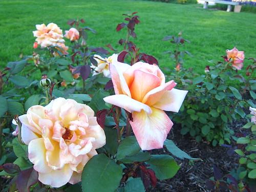 2013 August Lake Harriet Rose Garden