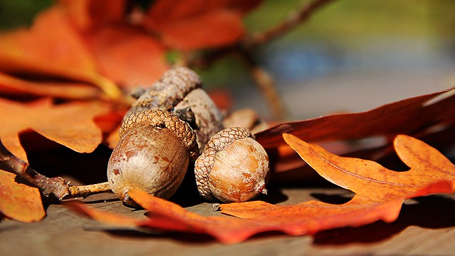 Acorns and Leaf