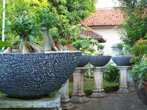 Adenium Garden