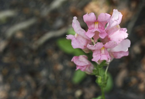 """""""Last Snap""""—pink snapdragon in autumn. Photo copyright Jen Baker/Liberty Images; all rights reserved."""
