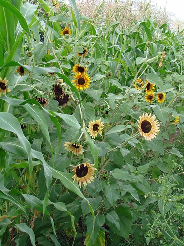 CornSunflower