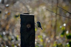 20140202_18_Coombe Country Park -Blue-Tit at the feeding post