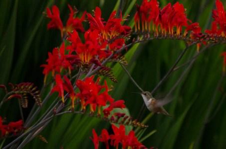 Montbretia with hummingbird