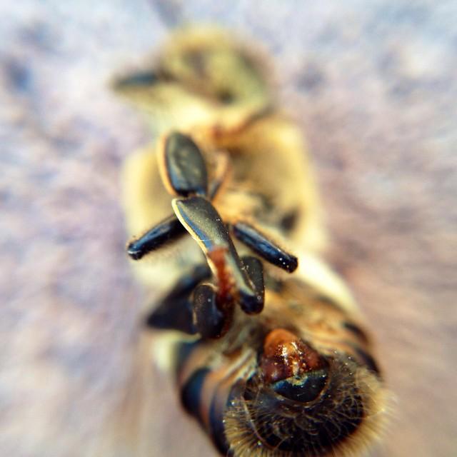 Macro Bee - 3