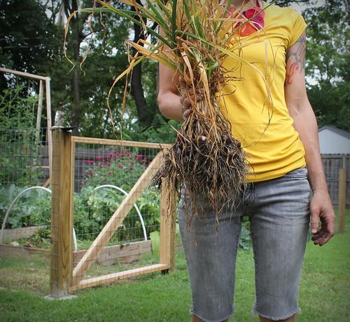 20130629. First garlic harvest = 50 bulbs.