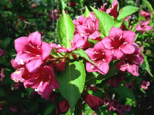 """Weigela (Caprifoliaceae: Weigela """"Bristol Ruby"""")"""