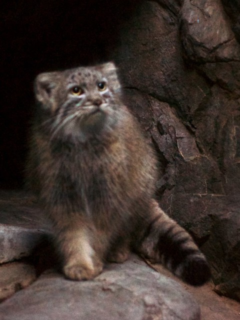 Processed Pallas Cat Looks Sharp!