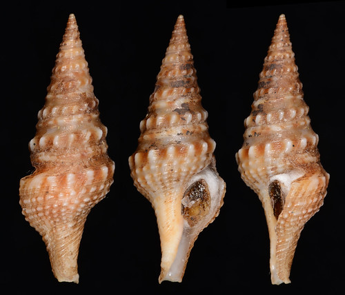 Turricula nelliae 23.99mm by leechitse
