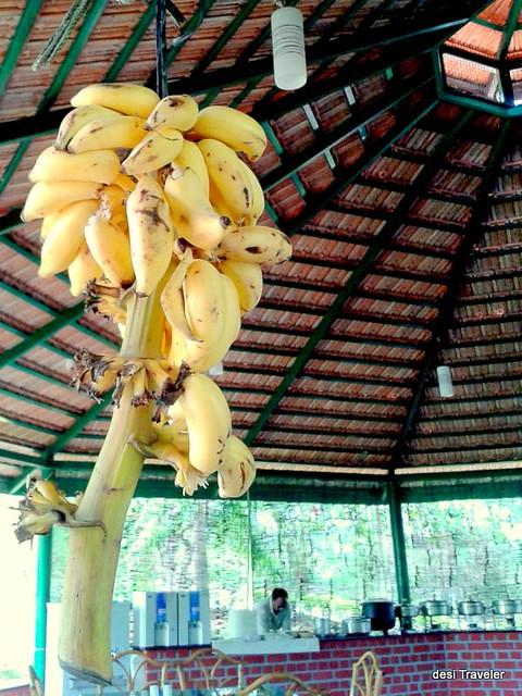 bananas hanging in dining hall at Jungle lodge bandipur