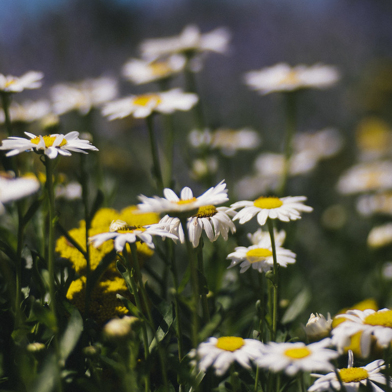 Daisy Field Trina Baker Photography