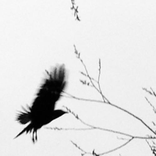 Raven or Crow? by @MySoDotCom