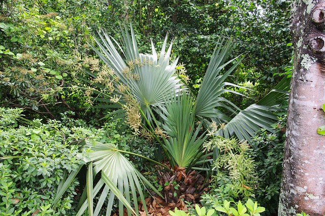 Palmettos in the woods, Middleton Place plantation, Dorchester County, South Carolina, 15 miles from Charleston, June11, 2012