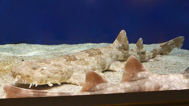 Wobbegong, the Bearded Shark