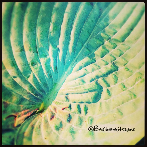 June 14 - texture {l love the texture of this hosta leaf} #TitleFx #fmsphotoaday #texture #leaf #hosta