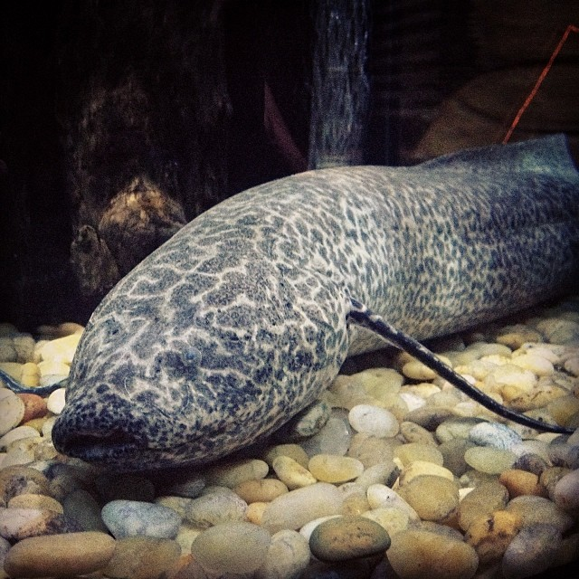 Marbled Lungfish