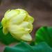 Lotos-Blüte