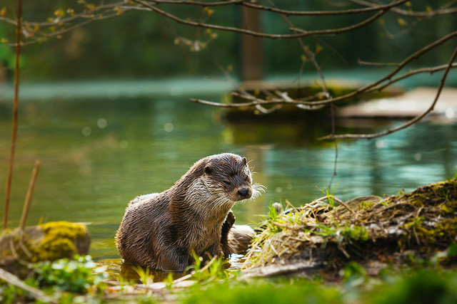 a river otter is half-reclined on a sunny, green streambank. Its face is a little squinched up, as if shaking off water.