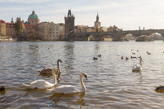 Swans on the Vltava and the Charles Bridge