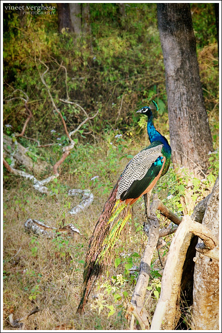 Jungle Peacock