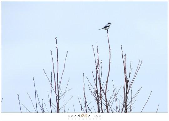 Een klapekster; een kleine vogel waar je niet snel dichtbij kunt komen. een tele objectief is bijna een noodzaak. 400mm brandpunt en bovendien ongeveer de helft van de foto gecropt. Om de vogel zo groot in beeld te krijgen zonder een stuk weg te snijden zou een brandpuntsafstand van ongeveer 600mm vereisen.