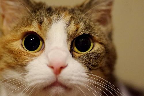 cat* anzu