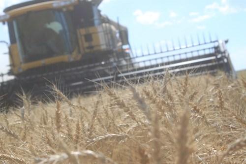 40 bushel wheat, not too shabby.