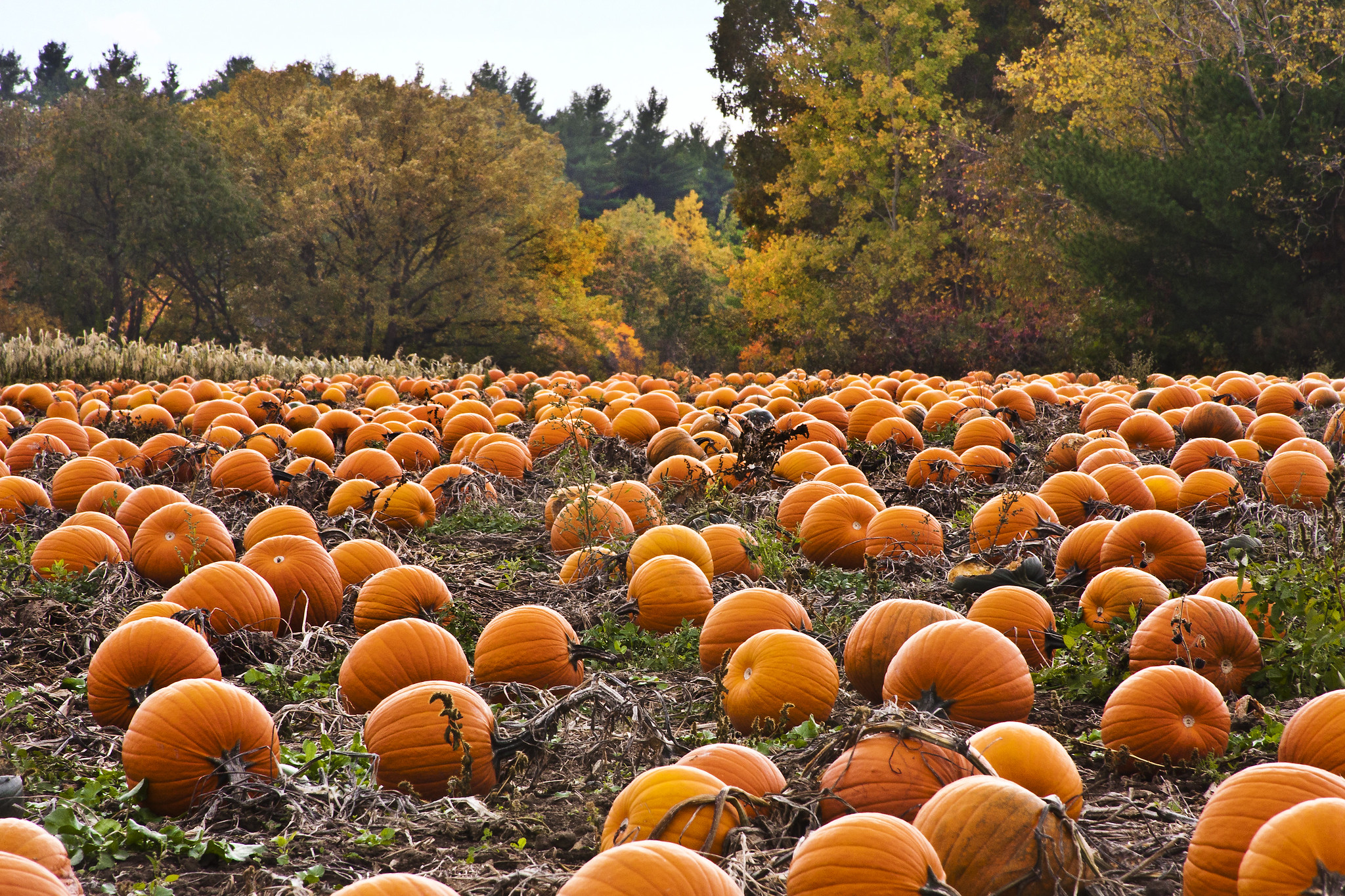 pumpkin patch - Photo Credit: liz west via Flickr, used unmodified under CC BY 2.0 license