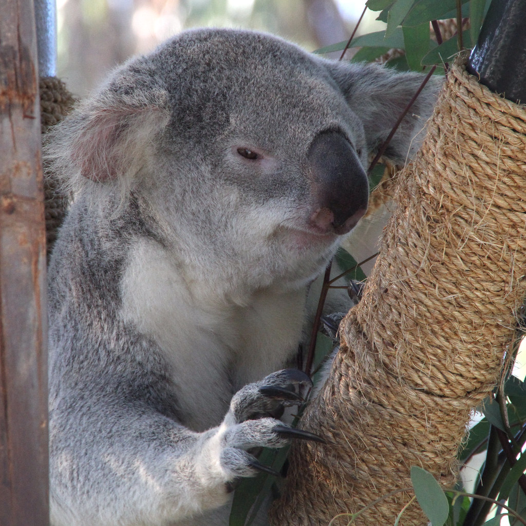 Mischievous koala
