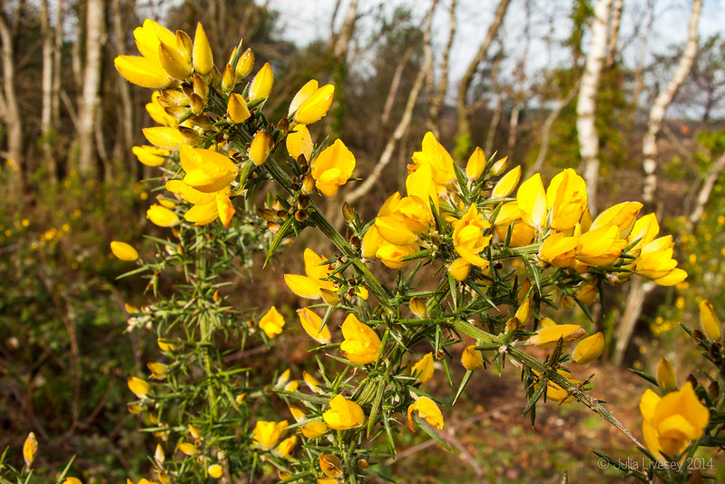 Gorse blooms all year round