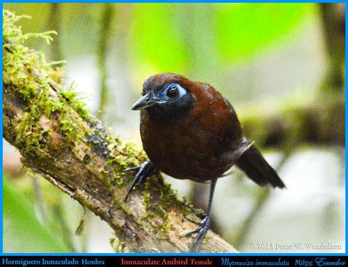 IMMACULATE ANTBIRD FEMALE Myrmeciza immaculata Perching on a Mossy Limb at the Milpe Bird Sanctuary, ECUADOR. Photo by Peter Wendelken