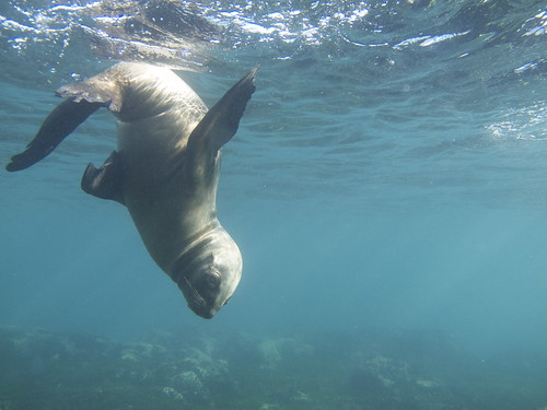 Punta Loma Sea Lion pup
