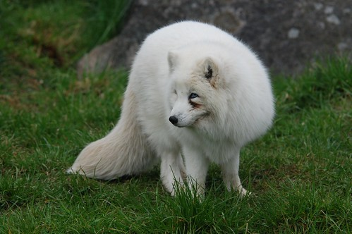Polarfuchs  im Skandinavisk Dyrepark in Kolind