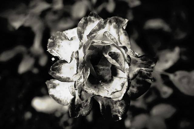 Die müde Rose