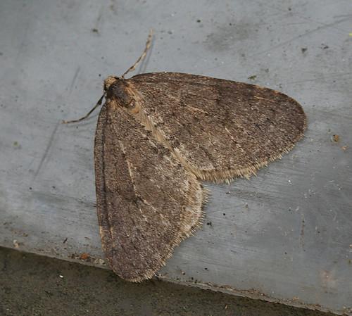 Winter Moth Operophtera brumata Tophill Low NR, East Yorkshire December 2013