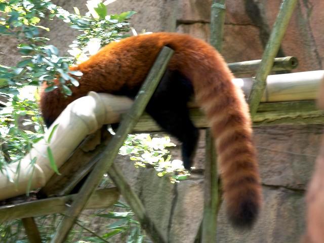 Red Panda Tail