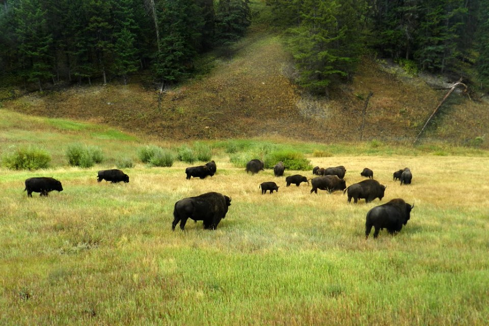 Bisontes Parque Nacional de Yellowstone EEUU 07