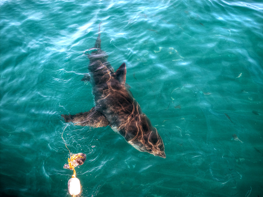 A great white gliding by a dangling fish head.