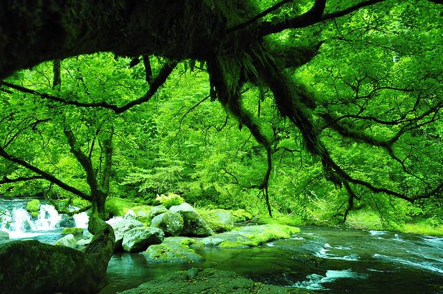 菊池水源のオニカエデ