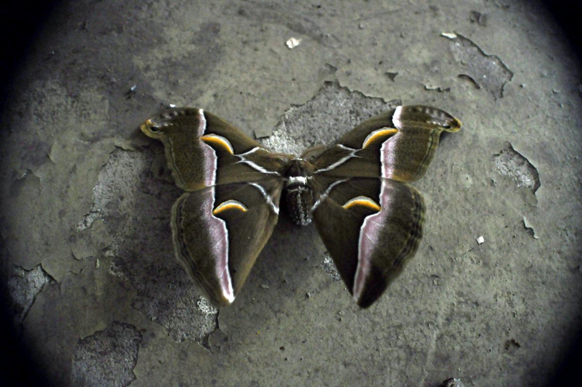 Papillon Mort