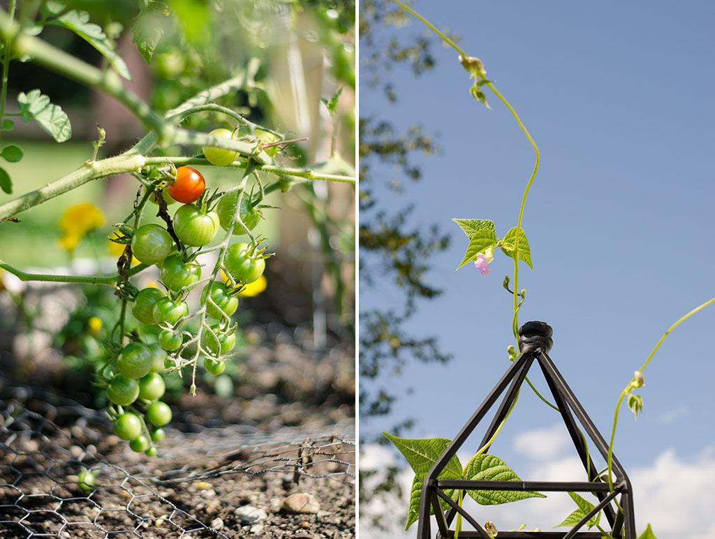 tomato bean collage