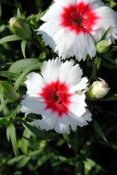 Ferris flowers