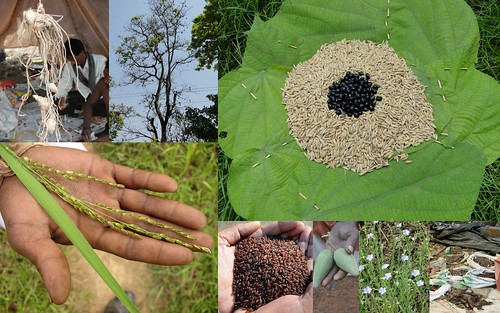 Medicinal Rice based Tribal Medicines for Diabetes Complications and Metabolic Disorders (TH Group-831) from Pankaj Oudhia's Medicinal Plant Database