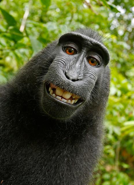 Crested Black Macaque (Macaca nigra) Selfie
