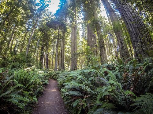 Redwoods and Elk-049