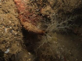 Sea Cucumber (Aslia lefevrei)