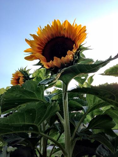 In my yard: sunflowers ❤️