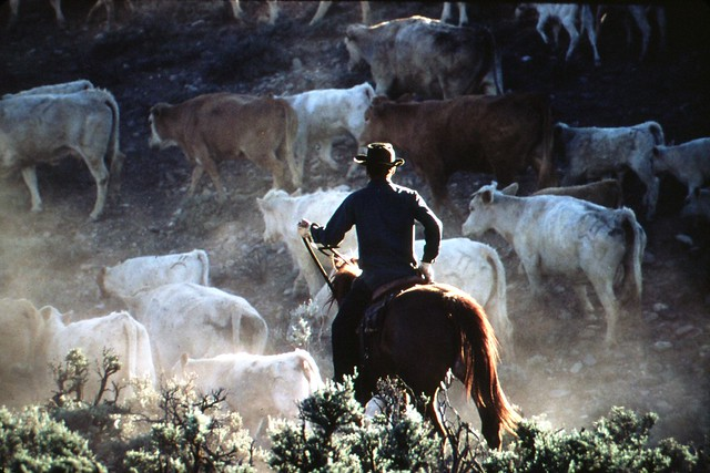 Cowboy at Cattle Drive