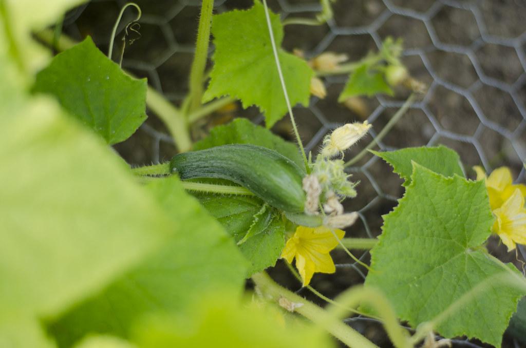 garden 2014 // weeks seven & eight 1