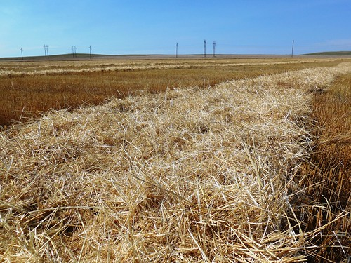 Endless straw in windrows
