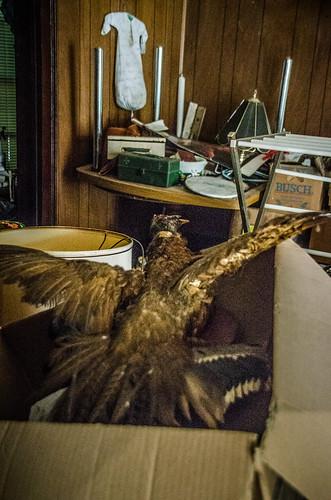 Stuffed Pheasant